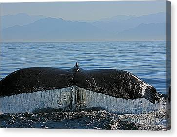 Whale Tail 4 Canvas Print by Nicola Fiscarelli