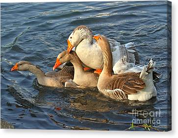 Toulouse Geese Mating Canvas Print by Adam Jewell