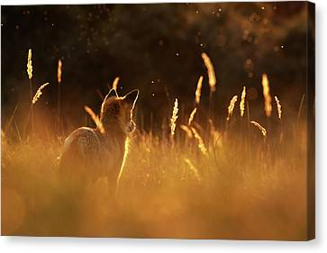 Mysterious Sunset Canvas Print - What Does The Fox Think - Red Fox At Sunset by Roeselien Raimond