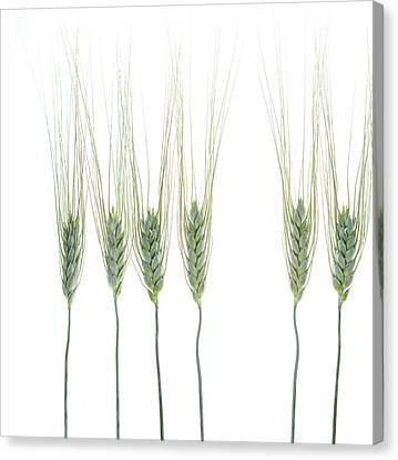 Canvas Print featuring the photograph Wheat 1 by Rebecca Cozart