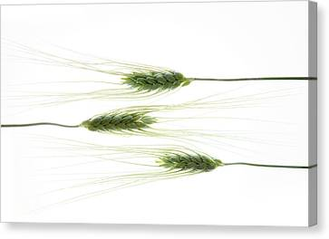 Canvas Print featuring the photograph Wheat 3 by Rebecca Cozart