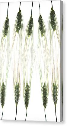 Canvas Print featuring the photograph Wheat 4 by Rebecca Cozart