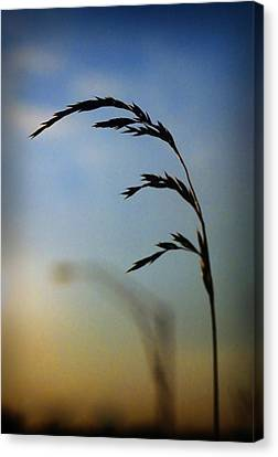 Wheat In Silhouette Canvas Print by Dave Chafin