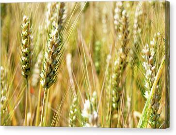 Wheat In The Sun Canvas Print