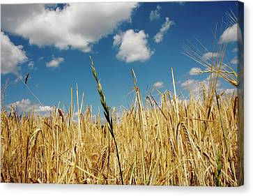 Canvas Print featuring the photograph Wheat On The Rhine by KG Thienemann