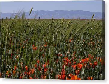 Canvas Print featuring the photograph Wheat With Poppy  by Ivete Basso Photography