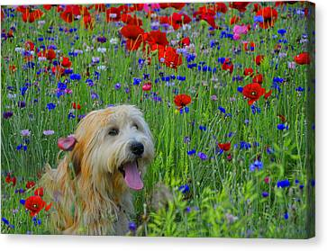 Wheaten Terrier And Poppies Canvas Print
