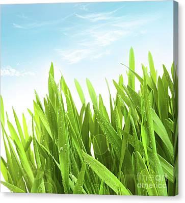 Wheatgrass Against A White Canvas Print by Sandra Cunningham