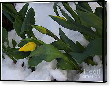 When Spring Meets Winter Canvas Print by Dora Sofia Caputo Photographic Art and Design