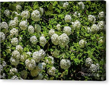 Where Snowballs Come From Canvas Print by Jon Burch Photography