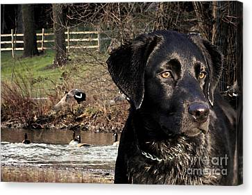 Where's The Geese Labrador 4 Canvas Print by Cathy  Beharriell