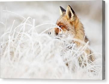 Which Fox....where? Canvas Print by Roeselien Raimond
