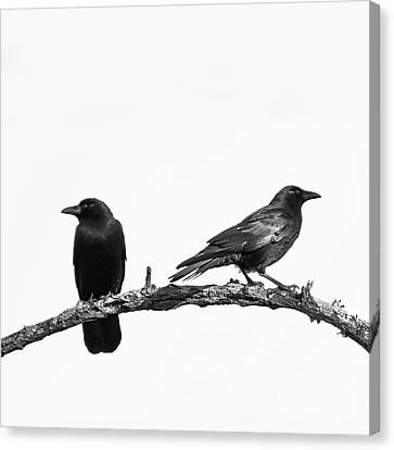 Which Way Two Black Crows On White Square Canvas Print by Terry DeLuco