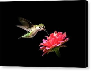 Whispering Hummingbird Canvas Print by Christina Rollo