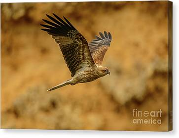 Whistling Kite 02 Canvas Print