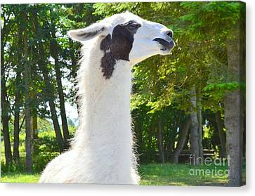 White Alpaca Canvas Print by Mary Deal