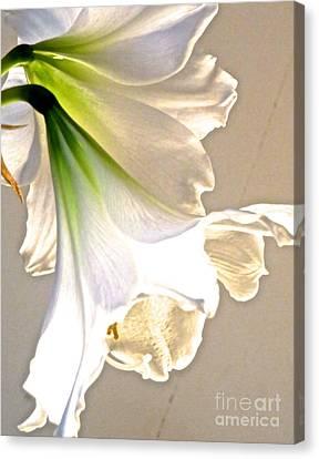 White Amaryllis 22 Canvas Print by Ken Lerner