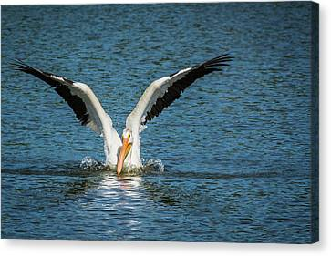 White American Pelican Canvas Print by Pamela Williams