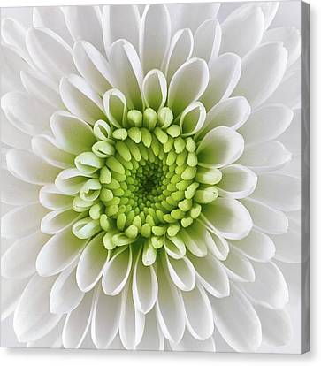 White And Green  Chrysanthemum Canvas Print by Jim Hughes