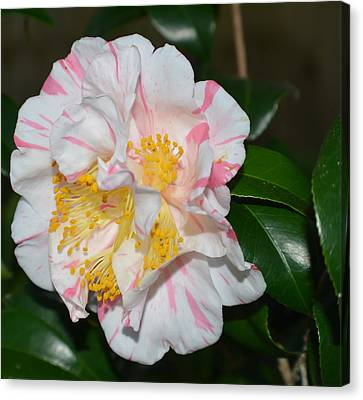 White And Pink Camellia Canvas Print by Aimee L Maher Photography and Art Visit ALMGallerydotcom