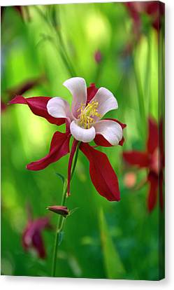 Canvas Print featuring the photograph White And Red Columbine  by James Steele