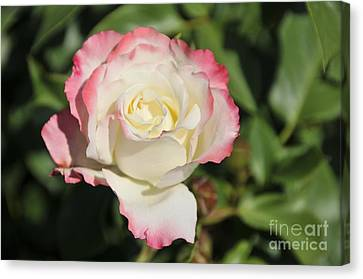 White And Red Rose 3 Canvas Print by Rudolf Strutz