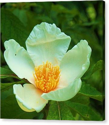 White And Yellow Flower Canvas Print by Eric  Schiabor