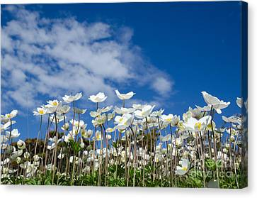 White Anemones At Blue Sky Canvas Print