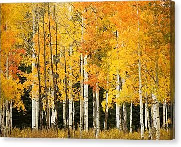 White Aspen Trunks Canvas Print by Ron Dahlquist - Printscapes