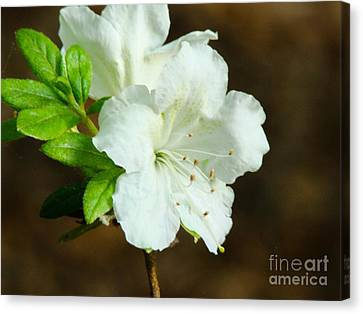 Canvas Print featuring the photograph White Azalea  by Rand Herron