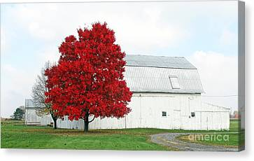 White Barn And Red Maple  5704 Canvas Print by Jack Schultz