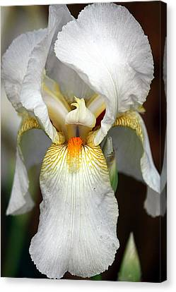 Canvas Print featuring the photograph White Bearded Iris 2 by Sheila Brown
