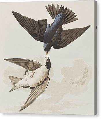 White-bellied Swallow Canvas Print by John James Audubon