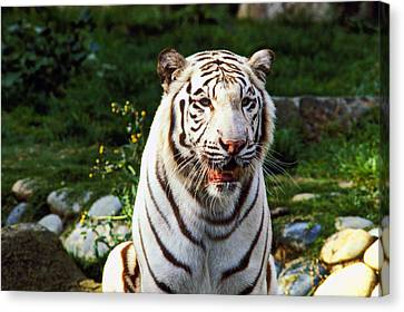 White Bengal Tiger  Canvas Print by Garry Gay