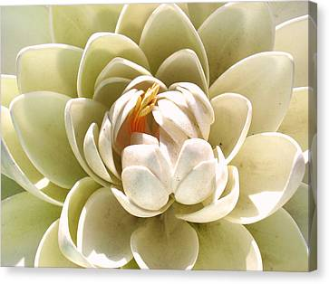 White Blooming Lotus Canvas Print by Sumit Mehndiratta