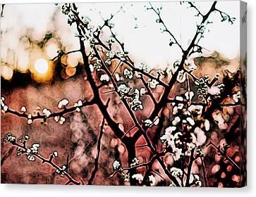 White Blossom Branches Canvas Print by Carol Crisafi