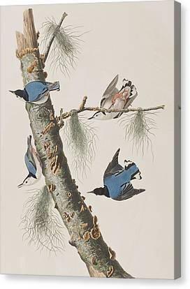 White-breasted Black-capped Nuthatch  Canvas Print by John James Audubon