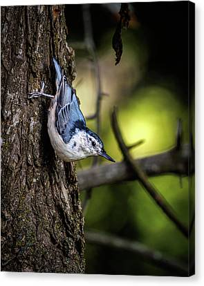 Canvas Print - White Breasted Nuthatch by Bob Orsillo