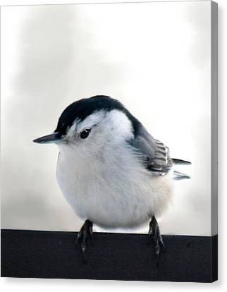 White Breasted Nuthatch Canvas Print by Diane Merkle