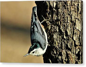 White-breasted Nuthatch On Tree Canvas Print