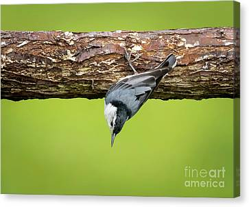 Canvas Print featuring the photograph White-breasted Nuthatches by Ricky L Jones
