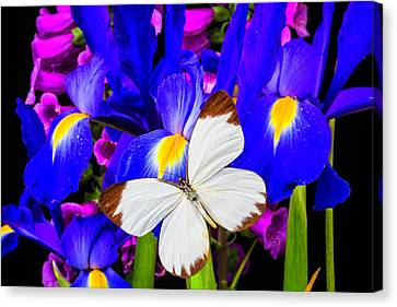 White Butterfly On Blue Iris Canvas Print