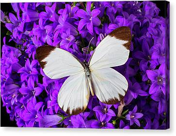 White Butterfly On Campanula Canvas Print by Garry Gay