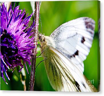 White Cabbage Butterfly Pieris Rapae On Purple Thistle Flower Canvas Print