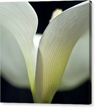 White Calla Lily Canvas Print by Heiko Koehrer-Wagner
