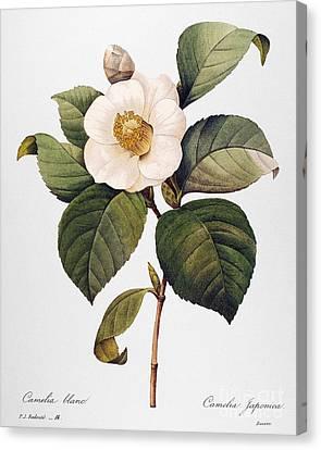 White Camellia Canvas Print by Granger