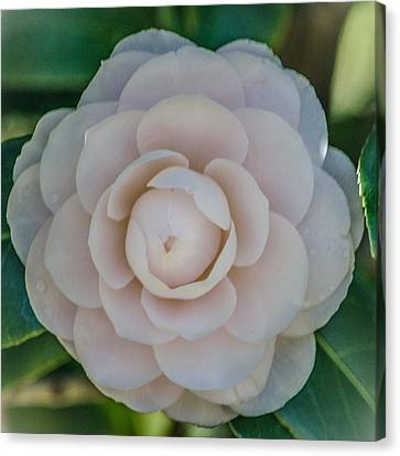 White Camellia Canvas Print by Renee Barnes