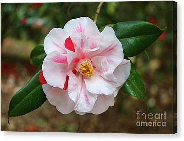 White Camellia With Hint Of Pink Canvas Print by Carol Groenen