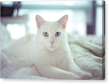 White Cat Laying On Comfy Bed Canvas Print by by Dornveek Markkstyrn