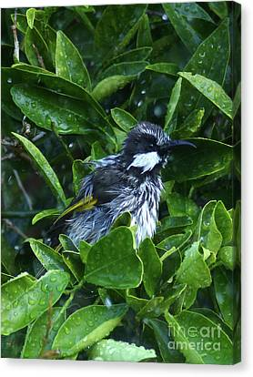 White Cheeked Honeyeater Taking A Shower Canvas Print by Phil Banks